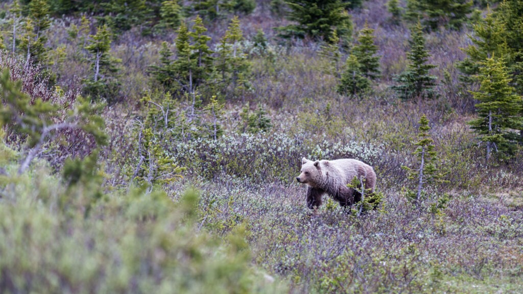 Freilebender Grizzly, Banff National Park, Alberta, Kanada, Power Query