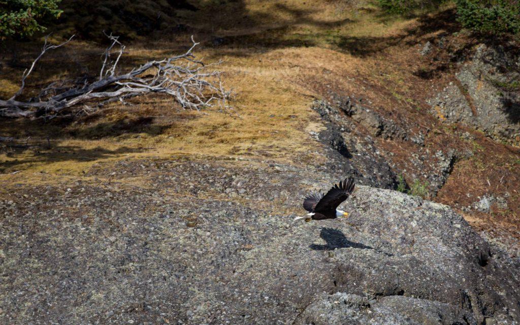bald eagle, off Vancouver Island, Canada